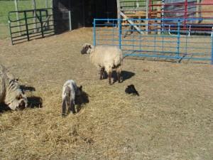 Lamb comparison 4-2010