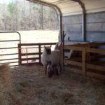 True Grit, Sheep Style…Lambing Update!