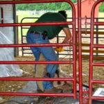 Sheep Shearing Day