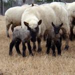 It's Lambing Time!