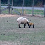 St. Patrick's Day Lamb
