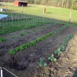 Homestead Updates: Lettuce and Lambs
