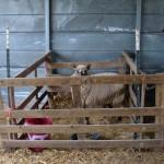 Having Lambs on Pasture…