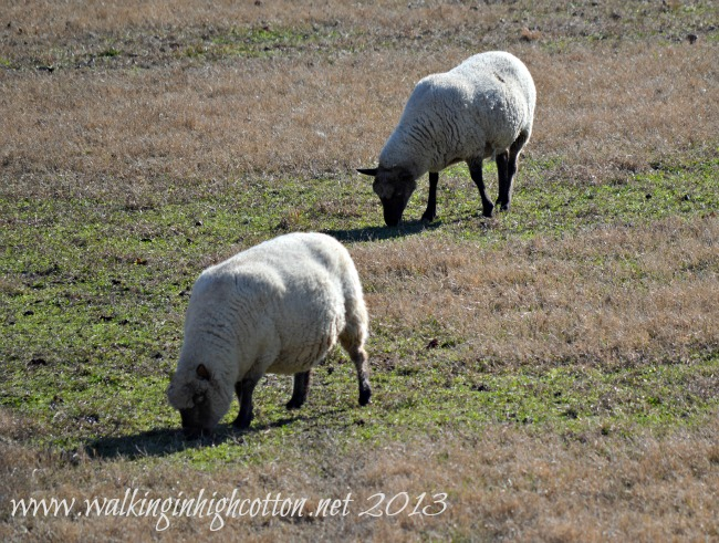 pregnant ewe 2
