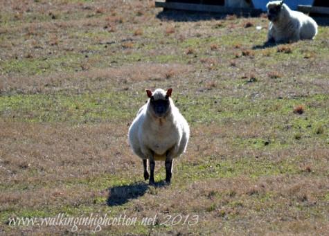 pregnant ewe