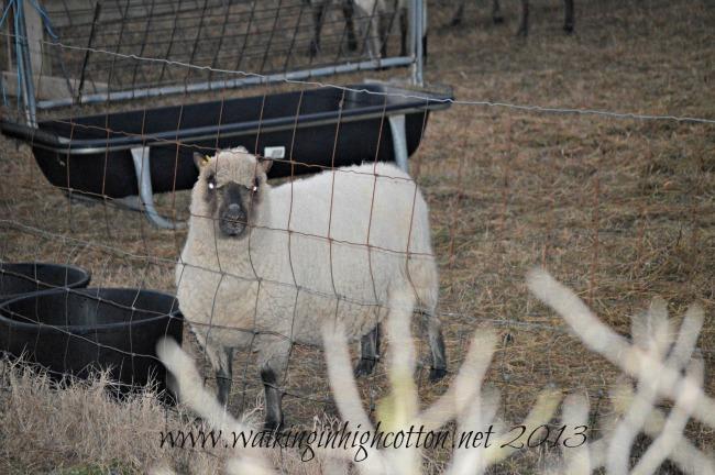 first lamb 4