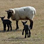 Yep, More New Lambs
