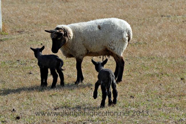 New Lambs at The Lowe Farm, Virgina