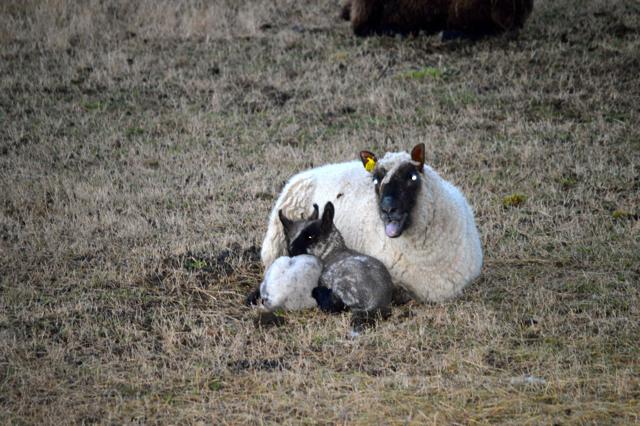 lambs a