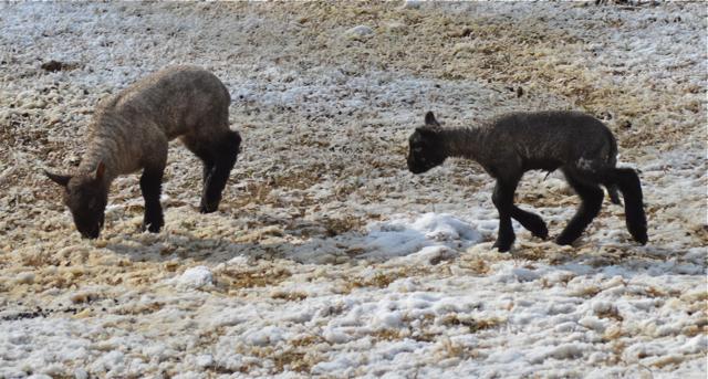 lambs d