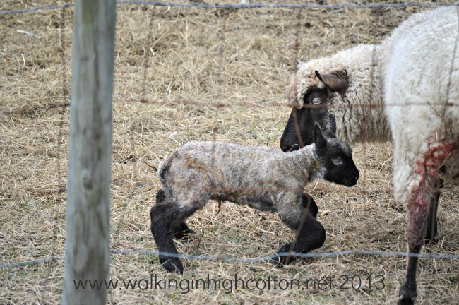 New Lambs at The Lowe Farm, Virginia