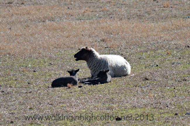 New lambs (twins!) at The Lowe Farm, Virginia