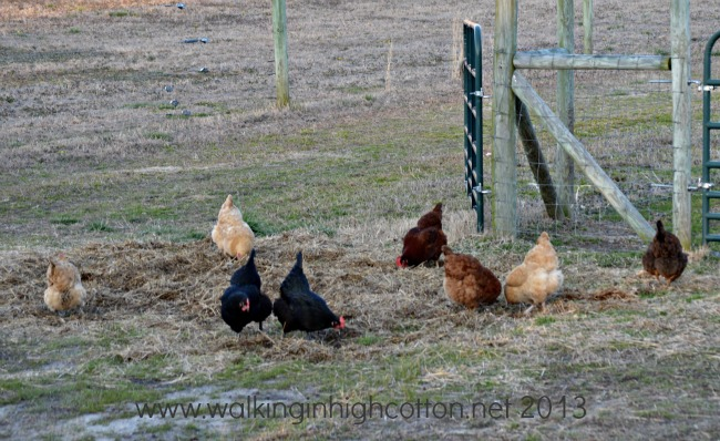 free range chickens at The Lowe Farm, Virginia