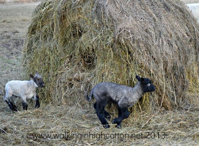 lambs playing 1
