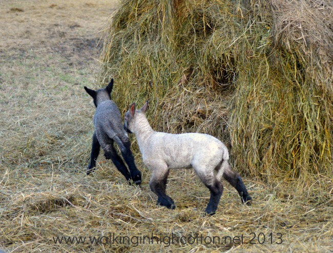 lambs playing 2