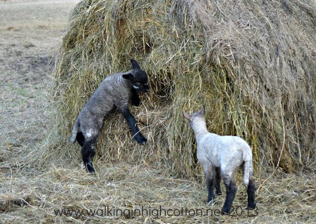 lambs playing 3
