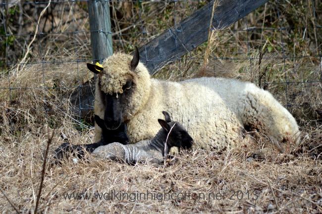 morning lambs 3