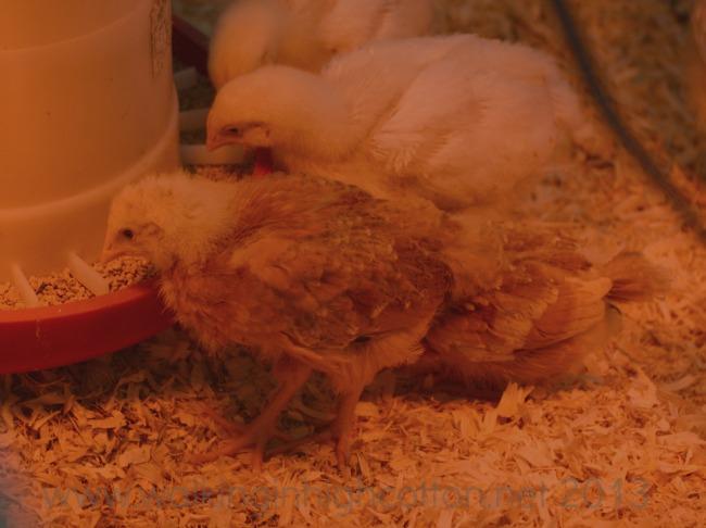 baby chicks 5