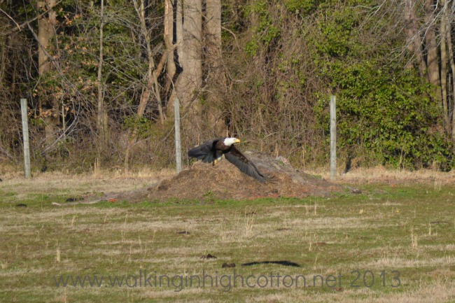 bald eagle over the cow field at The Lowe Farm, Tidewater Virigina
