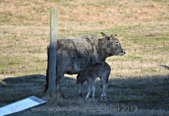 new zebu calf 4