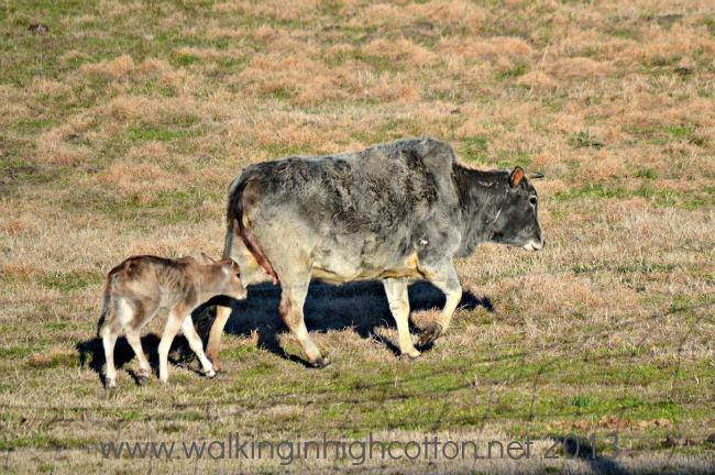 new zebu calf 5