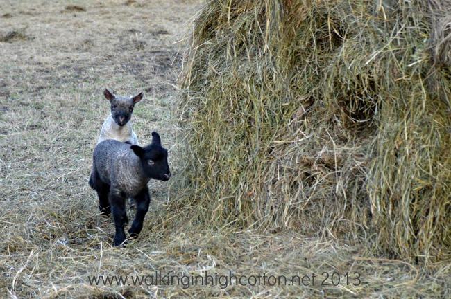 lambs playing 4