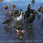 Ducks on the Loose…And Other Daily Adventures