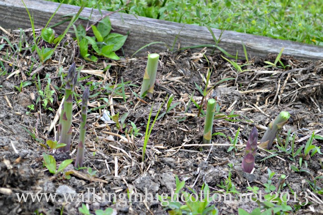 """The kids love to hunt for purple """"baby"""" asparagus heads pushing out of the soil."""
