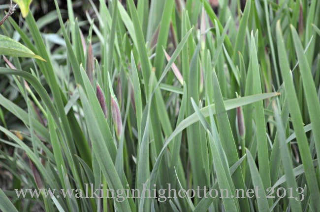 You can see the irises are just starting to thicken up and get ready to flower...