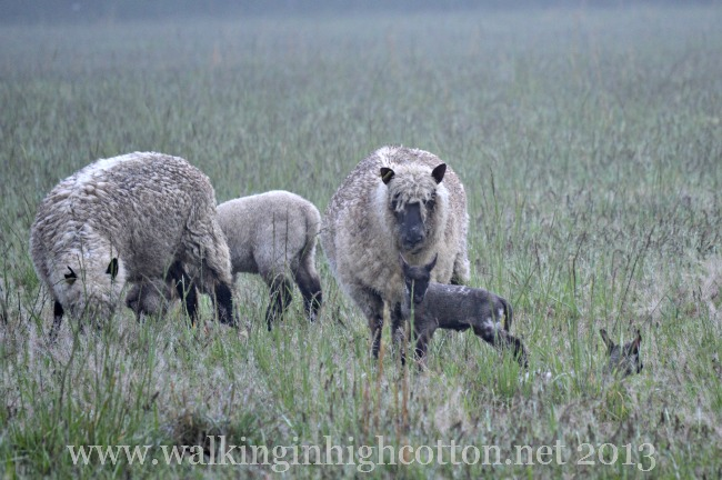 I can't wait until we shear--their wool gets so raggedly-looking in the wet spring weather!