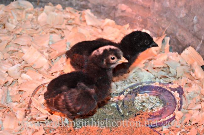 2 freebie chicks 3