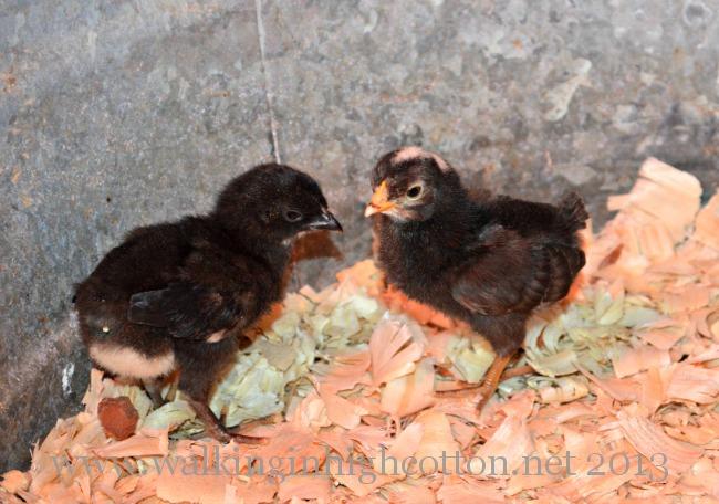 2 freebie chicks 4