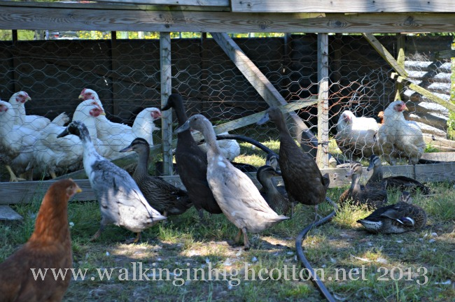 The ducks are not nearly as adventurous as those young hens. They like to just hang out in the shade.