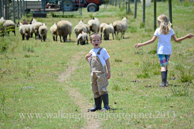 herding sheep 7