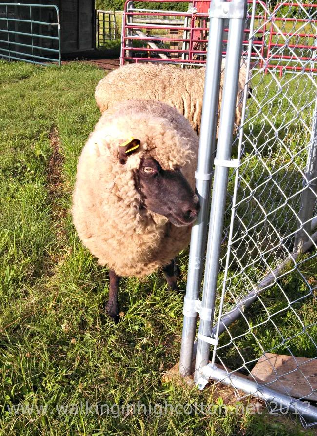 working sheep 2