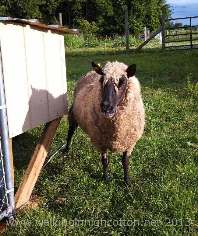 working sheep 3