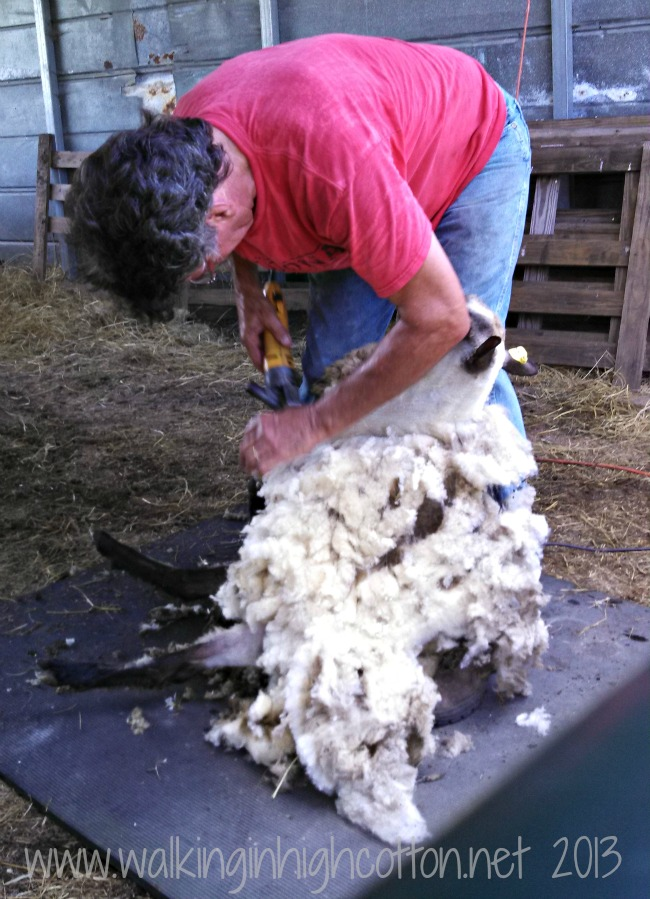 Shearing followed a careful pattern to make the nicest fleece, with long, even strokes.