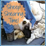 Sheep Shearing Time!