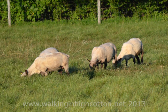 Evening is the preferred grazing time of day. After the heat starts to fade and the flies disappear. Mosquitoes don't seem to bother the sheep much. {smile}