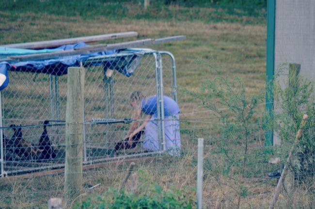 chasing chickens 2