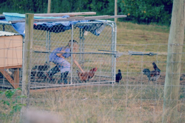 chasing chickens 5