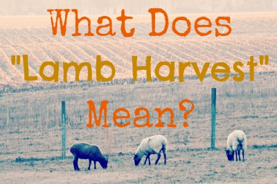 """What Does """"Lamb Harvest"""" Mean? How we sell freezer and live lamb at The Lowe Farm @ Walking in High Cotton"""