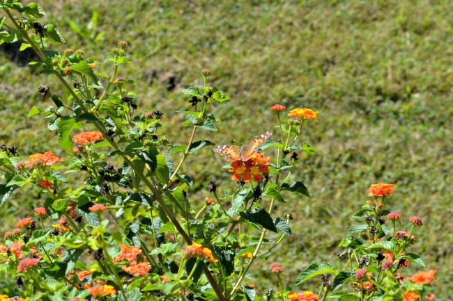 Our lantana is still blooming strong, with no sign of slowing down.