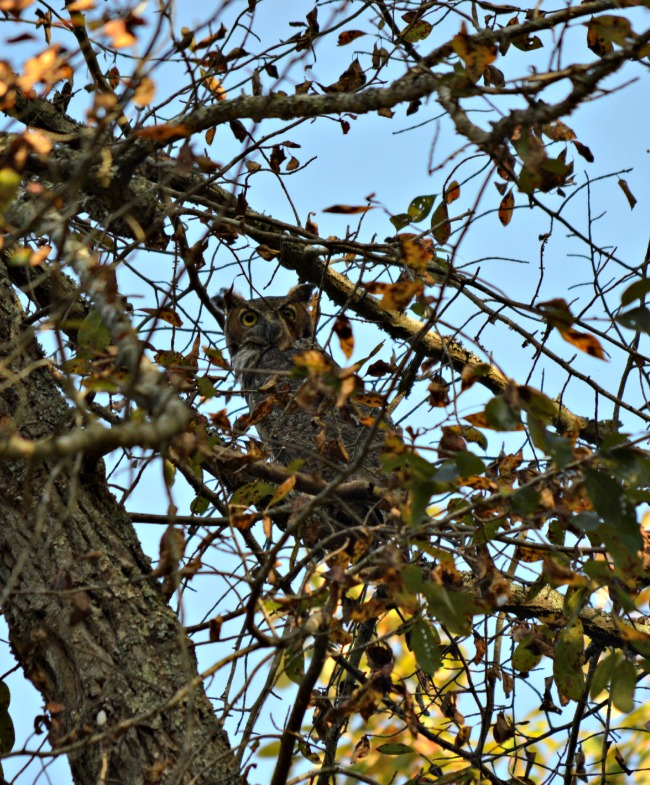 Mr. Fix-It slipped up right at the base of the tree and took some great shots. The owl just watched us.