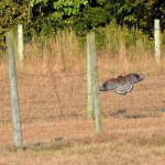 Hawks, Hay, and Hefty Ewes…the Daily Farm Adventures