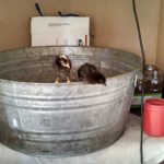 Roosters…the Daily Farm Adventures