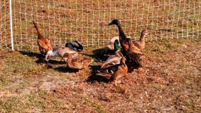 2013 ducks