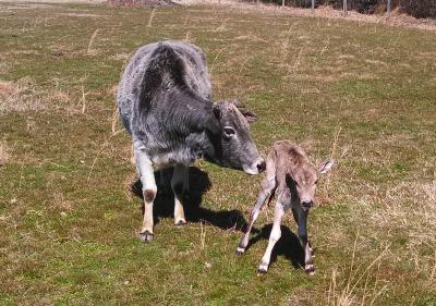 2013  calves