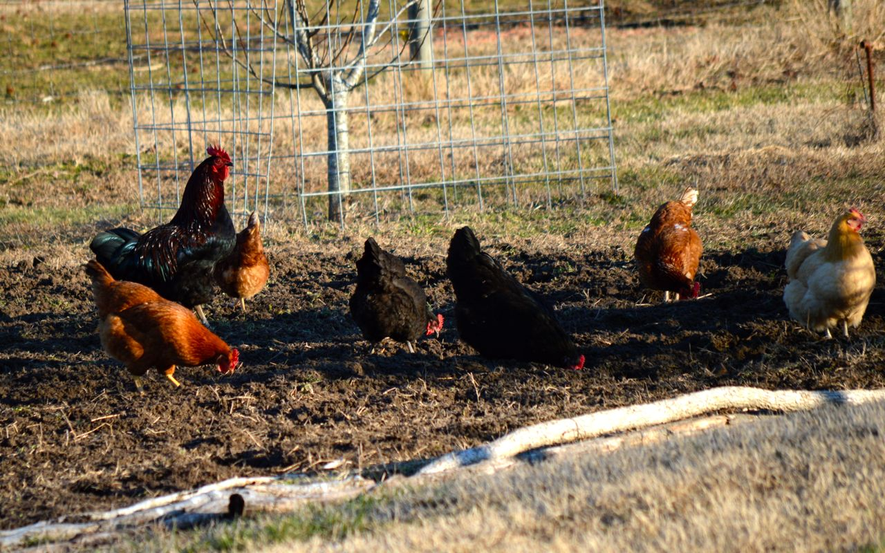 The chickens were thrilled that it was gardening time again. And we were thrilled that someone was on grub-duty.