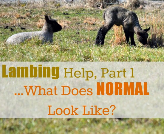 lambing help part 1 normal